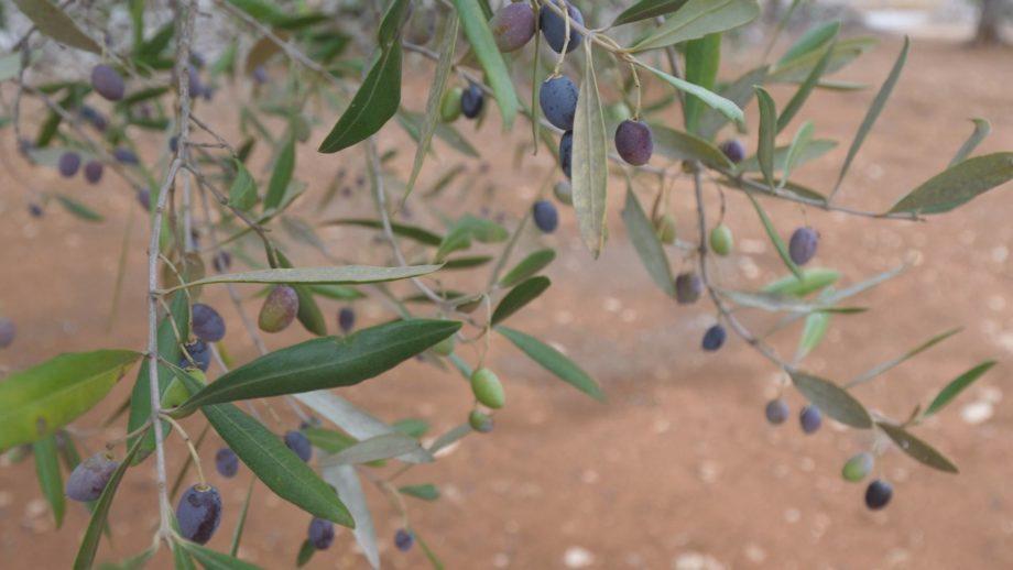 Olio Oro di Puglia e Lume di Autenticità Rurale – Sava (TA)
